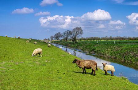 ovejas: Ovejas Frisia Oriental