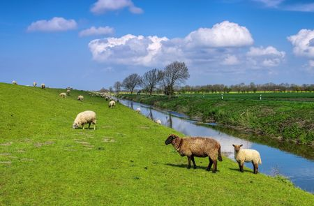 pecora: Pecore Frisia orientale