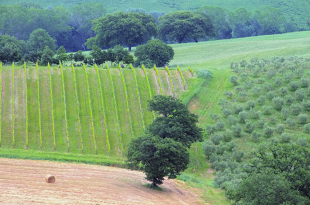 val d      orcia: Tuscany vineyard