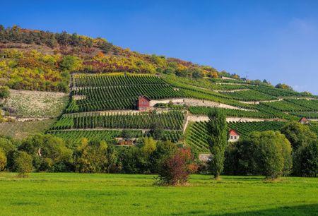 viñedo: viñedos Saale Unstrut