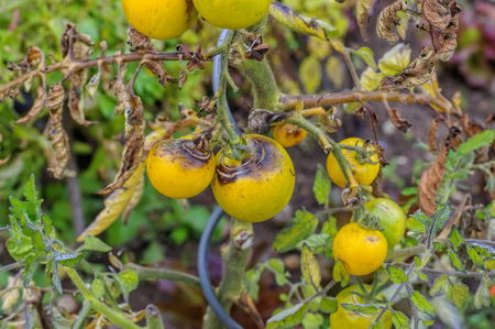 blight: tomato late blight in garden
