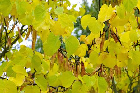 semen: Judas tree in autumn, indian summer