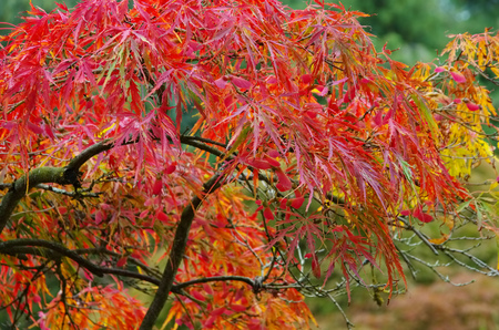 acer: Acer palmatum in fall
