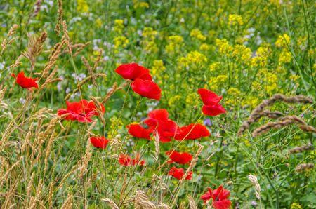 field of corn poppy flowers: red corn poppy in spring