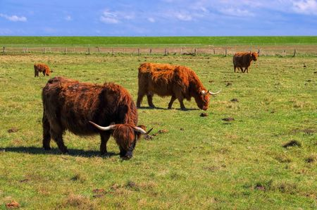 highland: Highland Cattles on the meadow