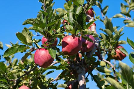 leaf on tree: red apples on tree