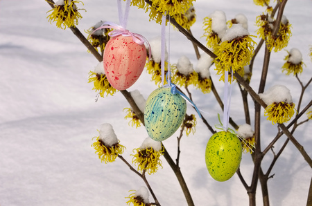 witchhazel: hamamelis shrub in easter time and snow