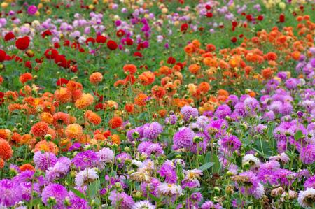 varieties: dahlia field in summer, many varieties Stock Photo