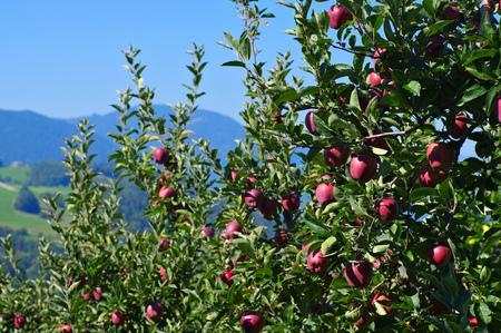 arboles frutales: manzanas rojas en el árbol Foto de archivo
