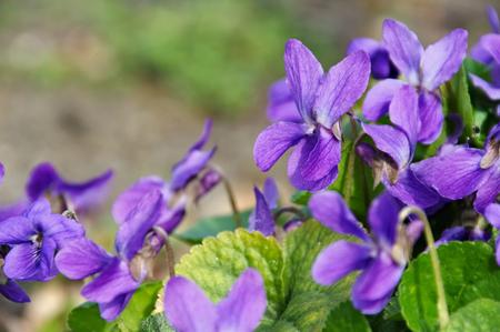 purple Viola odorata in spring