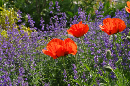 oriental poppy: oriental poppy and catmint in summer