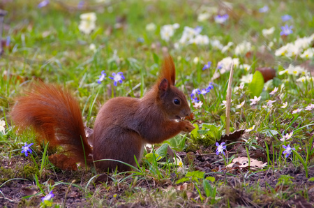 red squirrel: Red squirrel in a park in spring