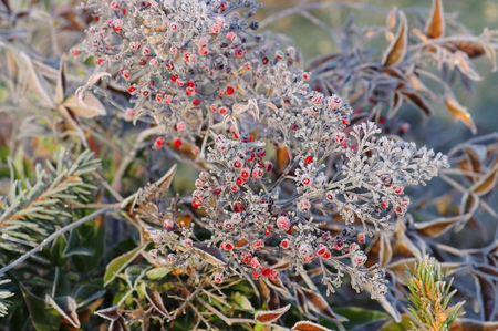 heavenly: heavenly bamboo in winter with hoarfrost