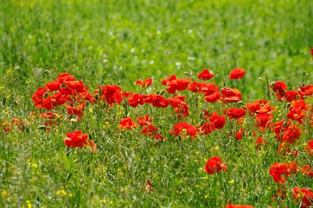 field of corn poppy flowers: red corn poppy flowers in green field Stock Photo