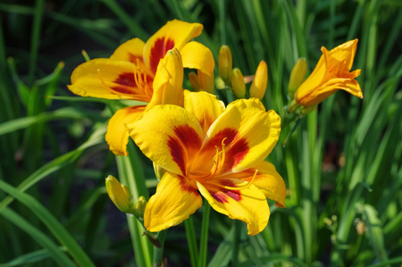 daylily of the species Fooled Me in summer