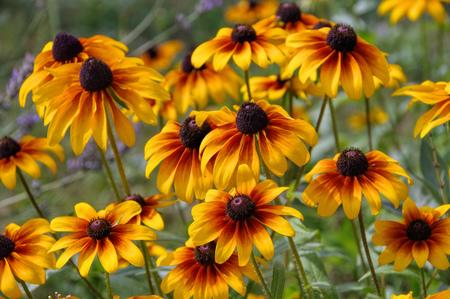 bright eyed: black-eyed Susan flower in summer garden Stock Photo