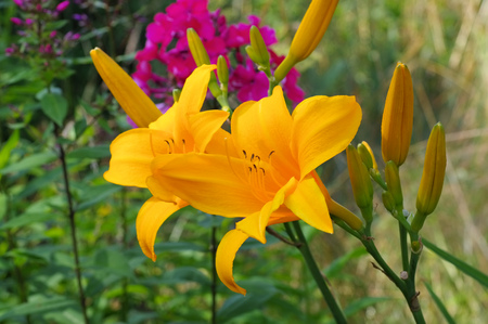 daylily: daylily of the species Reverend Traub in summer Stock Photo