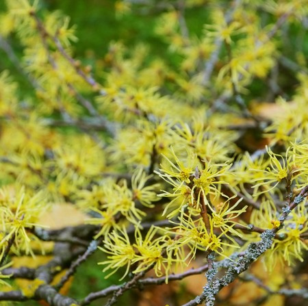 hazel branches: Hamamelis virginiana
