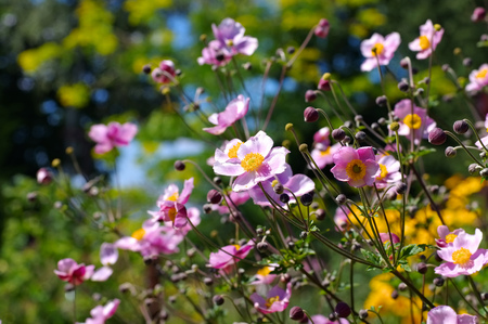 windflower: Japanese anemone flowers,  Anemone hupehensis