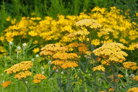 yarrow: yellow Fernleaf Yarrow in garden, species Terracotta