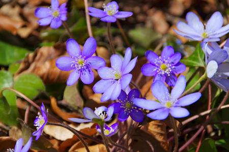 nobilis: blue Hepatica nobilis flower blooming in spring