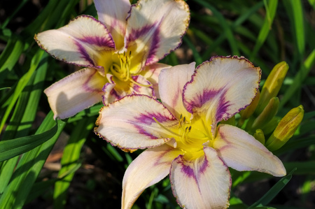 daylily of the species Destined To See in summer Stock Photo