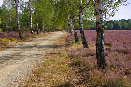 ericaceae: Heath landscape with flowering Heather, Calluna vulgaris and hiking path Stock Photo