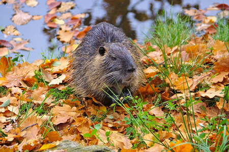 nutria: wild Nutria, Coypu (Mycastor coypus) on river Stock Photo