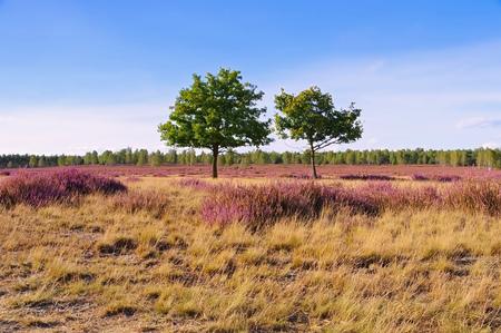 ericaceae: Heath landscape with flowering Heather, Calluna vulgaris Stock Photo