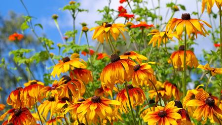 black-eyed Susan flower in summer garden Stock Photo