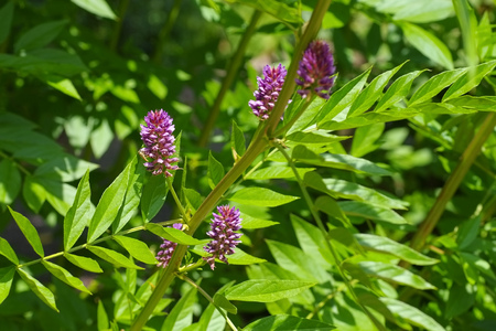 the herbal plant  Liquorice or Glycyrrhiza glabra