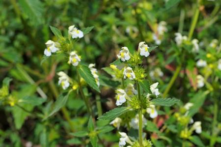 downy: the herbal plant  Downy Hemp-nettle or Galeopsis segetum