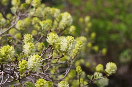 Fothergilla gardenii Murray in spring