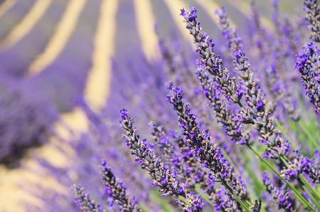 Lavendel - lavender 126