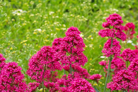 spur: spur valerian, Centranthus ruber a red wildflower