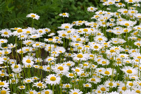 shasta daisy: Leucanthemum vulgare, the ox-eye daisy in garden Stock Photo
