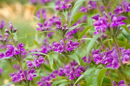 Phlomis herba-venti, a purple wildflower Stock Photo