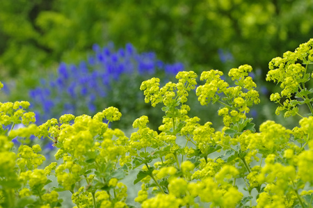alchemilla mollis: the herbal plant ladys-mantle or Alchemilla mollis Stock Photo