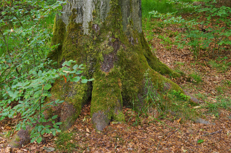beech tree andold root