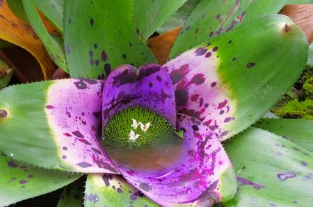 Bromeliad Neoregelia concentrica species Plutonis