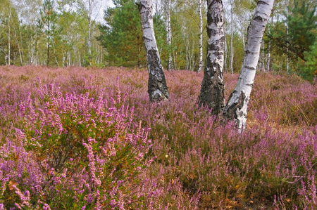 Heath landscape with flowering Heather, Calluna vulgaris Stok Fotoğraf