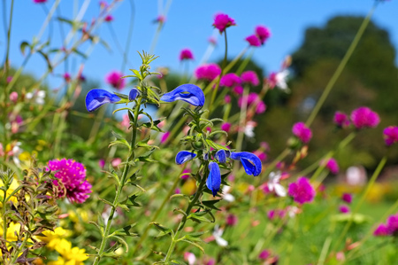 Salvia patens also called called gentian sage in summer garden