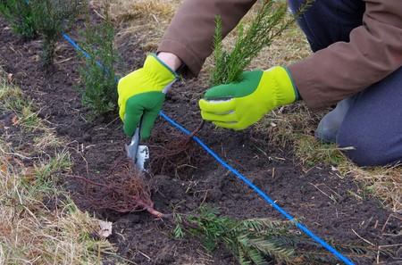 pflanzen: Hecke pflanzen Eibe - planting a taxus hedge 03