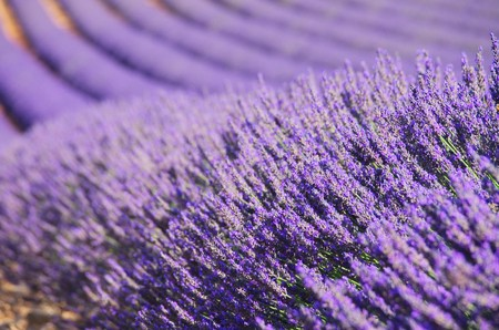 Lavendelfeld - lavender field 99