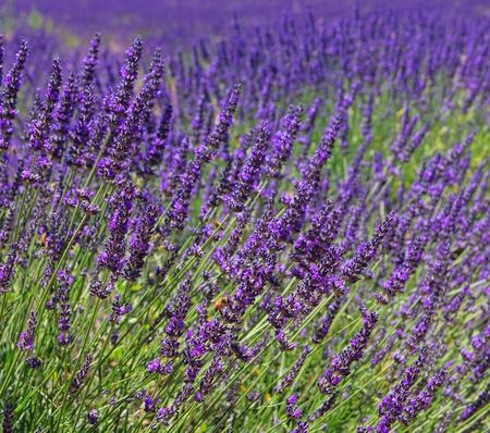 blte: Lavendelfeld - lavender field 05