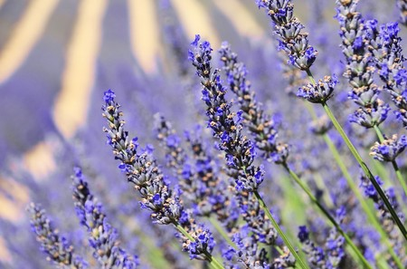 Lavendelfeld - lavender field 18 Stock Photo
