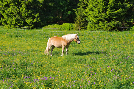 Haflinger horse on green meadows