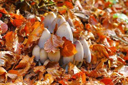 inky cap or Coprinopsis atramentaria in autumn forest