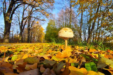 MACROLEPIOTA FULIGINOSA, a variety from Parasol mushroom