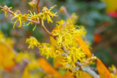 Hamamelis virginiana is blooming in fall, a herbal plant
